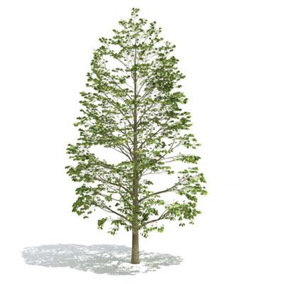 GrowFX-PopulusCanadensis